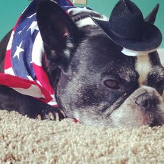 Patriotic pup (French bulldog)   Fourth of July dog show costume winner!