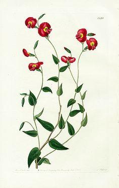 Edwards Botanical Register Bromeliads & Canna Prints 1815    http://www.panteek.com/EdwardsExotic/index.htm