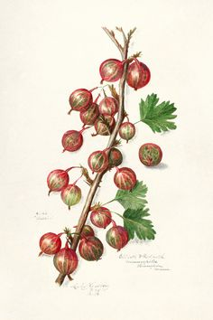 Vintage gooseberries illustration mockup. Digitally enhanced illustration from U.S. Department of Agriculture Pomological Watercolor Collection. Rare and Special Collections, National Agricultural Library. | premium image by rawpixel.com / kanate Apple Illustration, Botanical Illustration, Green Grapes, Vintage Japanese, Vintage Images, Royalty Free Photos, Agriculture, Vector Free, How To Draw Hands
