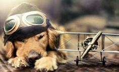 Quieres viajar con tu perro? Aquí las reglas de las aerolíneas para hacerlo: http://wp.me/p2W1v5-i4L @AeroMexico_com