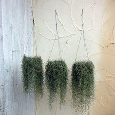 【楽天市場】観葉植物/ウスネオイデス ワイヤーリング(スパニッシュモス):園芸ネット プラス