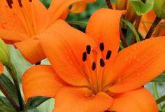 Bursa - Asiatic Lilies - Lilies - Flowers by category | Sierra Flower Finder