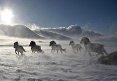 hestar. hjaltadalur. skagafjörður. iceland. (photograph by stefán héðinsson)