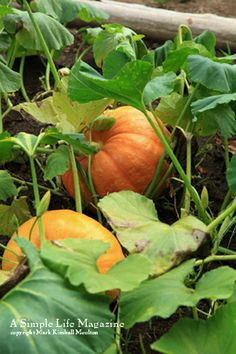 Grow pumpkins in full sun. Pumpkins, even miniature varieties, are big feeders. Plant them in rich garden soil. Mix in ample amounts of compost and manure prior to planting.