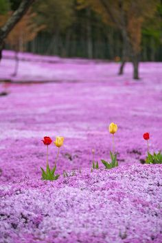 Radiant Orchid - Flowers Field