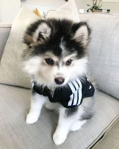Pomsky Dog Breed Information & Pictures - ❤Dogs,Puppies - Cute Husky Puppies, Super Cute Puppies, Cute Baby Dogs, Husky Mix, Husky Puppy, Puppy Goldendoodle, Pomsky Puppies For Sale, Puppies Tips, Tiny Puppies