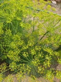9ce8188558f Dill is an easy-to-grow aromatic herb with culinary seeds and feathery  foliage. The best flavor is in the immature seed heads.