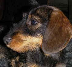 HOWDI Magazine®   Feelgood magazine. Ruwhaarteckelpraat. All Dachshund Pictures and more….