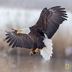 Parrot Flying, Parrot Bird, Eagle Pictures, Animal Pictures, Pretty Birds, Beautiful Birds, Bald Eagle Tattoos, Eagle Art, Golden Eagle
