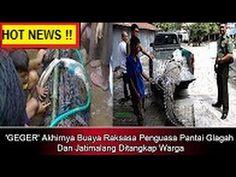 GEMPAR !! Buaya Raksasa Penguasa Pantai Glagah Dan Jatimalang Ditangkap ...