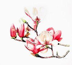 Magnolia soulangeana,Heidi Willis