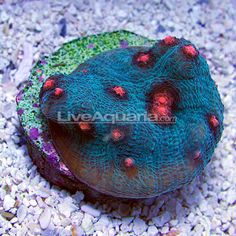 DFS Raspberry Eye Robokaki Chalice Coral Coral Reef Aquarium, Saltwater Aquarium, Chalice Coral, Dfs, Fish Tanks, Stuffed Animal Patterns, Animals And Pets, Underwater, Beautiful Things