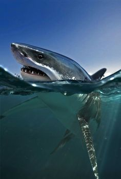 #fresh #smooth #sharp #teeth #shark wild pic! someday ill be swimming with these
