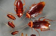 Why cockroach Control is necessary… – The Environmental Alternative For Safer Pest Control
