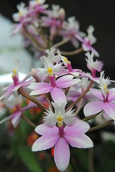 Orchids - Rosa e branco orquídeas parecem ter vôo