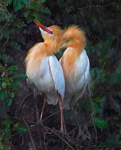 Cattle Egrets in breeding plumage in Taiwan