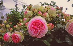 cabbage rose bushes .. I want in my front yard =)