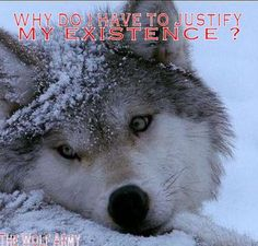 """Why.... ?  Wolves are magnificent & beautiful creatures, who should not be hunted down as despicable sarah palin (I refuse to capitalize her name) does, so proudly, (crowned in ignorance, cruelty, cowardice--""""despicable me"""", should be the title of her bio.) . These animals are not TERRORISTS.  The people who hunt them are the cowards. (Such big shots as long as they have a firearm or use cruel traps) . KARMA. U don't have 2 believe in it. It always comes back 2 u."""