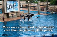 Boycott SeaWorld. Orca abuse. Animal rights. Blackfish