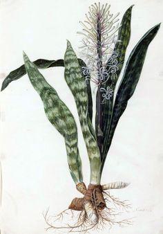 Jan Moninckx: Sansevieria hyacinthoides
