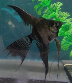 Angelfish, Black marble and Marbles on Pinterest