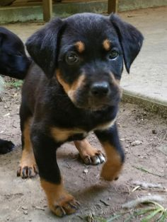 285 Best Rottweilers For Adoption Images Animal Rescue Animal