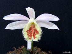 Orchid: Pleione Shantung - Orchisrafa