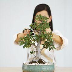 The Steps to Prune the Perfect Jade Bonsai The succulent jade plant (Crassula ovata) grows wild in i Jade Plant Pruning, Bonsai Pruning, Bonsai Plants, Bonsai Garden, Garden Pots, Crassula Succulent, Succulent Bonsai, Crassula Ovata, Planting Succulents