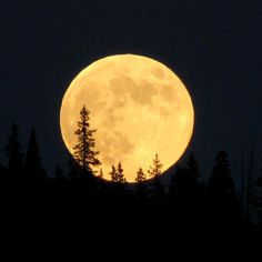 Full moon and pine trees