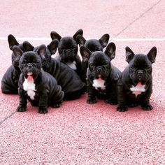 French bulldog for sale http://www.frenchbulldogbreed.net/puppy-for-sale.html