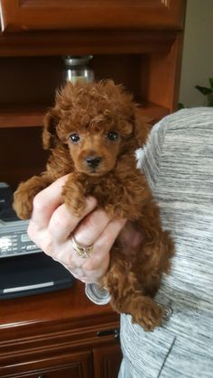 Poodle The Adorable Dog - The Pooch Online Cute Puppies, Cute Dogs, Dogs And Puppies, Doggies, Toy Poodle Puppies, Adorable Babies, Red Poodle Puppy, Red Poodles, French Poodles
