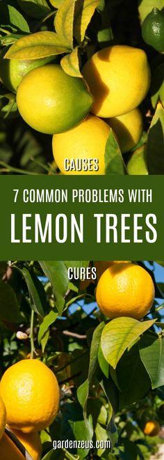 7 Common Problems With Lemon Trees #citrus #lemons #lemontrees