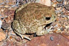 State Symbol: Texas State Amphibian: Texas Toad
