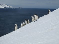 Chinstrap Penguins on Slippery Slope - The 2005 film March of the Penguins sparked an Emperor penguin fever. Now, because of the earth's rising fever, their feathered cousins, the chinstrap penguins, are in trouble. According to a BBC Nature slideshow, the Natural History Museum in Madrid found that within the past 20 years, more than 30 percent of the chinstrap penguin population in Antarctica has disappeared.