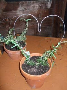 1000 Images About Rosemary Topiary On Pinterest