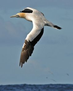 The Cape Gannet, Morus capensis, breeds on just six islands off the coast of Namibia and South Africa
