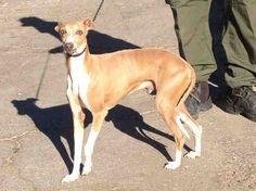 #FOUNDDOG 1-24-14 #VENTURA #CA ID: A585340 NEUTERED MALE TAN AND WHITE ITALIAN #GREYHOUND OWNER SURRENDER AVAILABLE FOR ADOPTION https://www.facebook.com/photo.php?fbid=541269979302676&set=a.424411040988571.1073741828.423203637775978&type=1