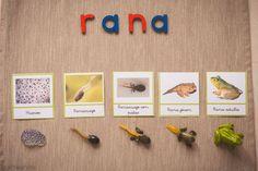 Ciclos de la vida Montessori con Safari Ltd. (Imprimibles gratuitos) - Tigriteando
