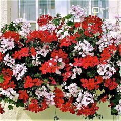 ivy geranium for classic european style window box could use in combination with other. Black Bedroom Furniture Sets. Home Design Ideas