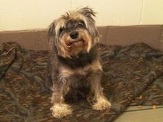Charlotte is an adoptable Schnauzer Dog in Woodbridge, NJ. Little Charlotte is a purebred mini schnauzer who came in to the shelter as a stray. The Animal Control staff was actually able to identify h...