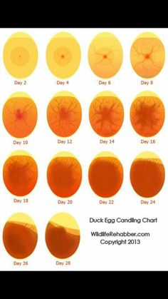 Duck egg candleing