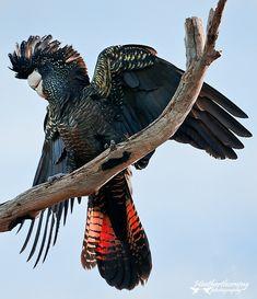 Red-tailed black cockatoo (Calyptorhynchus banksii) also known as Banksian- or Banks' black cockatoo. Australia.