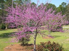 Forest Pansy Redbud | Wise Nurseries Trees Redbud 'Forest…