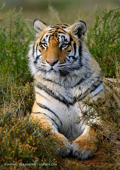 Panthera Tigris Tigris by Marsel van Oosten, via 500px