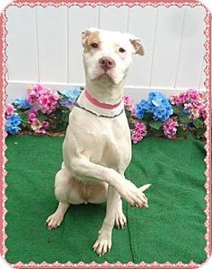 Pictures of RED a American Pit Bull Terrier/Labrador Retriever Mix for adoption in Marietta, GA who needs a loving home.