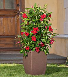 Mandevilla Sun Parasol Giant Crimson Planting Mine Tomorrow My