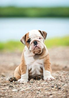 The major breeds of bulldogs are English bulldog, American bulldog, and French bulldog. The bulldog has a broad shoulder which matches with the head. Bulldog Names, Bulldog Pics, English Bulldog Puppies, Puppy Names, Cute Puppies, Cute Dogs, Dogs And Puppies, Doggies, Chihuahua Dogs