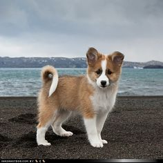 VIKING PUPPY: The Icelandic Sheepdog is adapted to the local terrain, farming methods and the hard struggle for survival of the Icelandic people over the centuries. This makes it indispensable in the rounding up of livestock on Icelandic farms. Animals And Pets, Baby Animals, Funny Animals, Cute Animals, Cute Puppies, Cute Dogs, Dogs And Puppies, Doggies, Beautiful Dogs