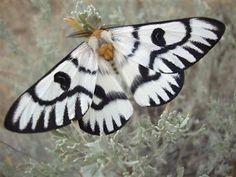Sagebrush Moth - Hemileuca hera