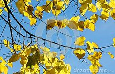 Shot in color, detail on the leaves of the tree in autumn. Set in Logroño, La Rioja, Spain, Europe